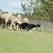 Pluto chases sheep at the Official Davis Cup draw for the Asia-Oceania zone one round two tie between Australia and Korea. Kim Trengove/Tennis Australia