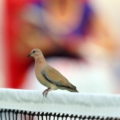 A bird takes in some of the action from a prime position at the WTA Dubai Duty Free Tennis Championships; Getty Images