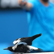 MELBOURNE, AUSTRALIA - JANUARY 18:  A magpie lands on the net during the second round doubles match between David Marrero of Spain, Fernando Verdasco of Spain and Alex Bolt of Australia and Andrew Whittington of Australia during day six of the 2014 Australian Open at Melbourne Park on January 18, 2014 in Melbourne, Australia.  (Photo by Mark Kolbe/Getty Images)